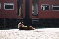 Ленивая собака улицы греясь в Солнце стоковая фотография rf
