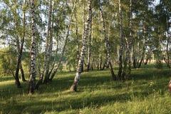 Лес березы в России стоковое изображение rf