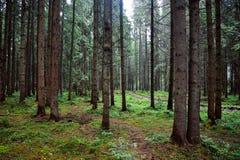 Лес фото с большими елями стоковые фото