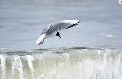Летание чаек мужского Bonaparte над волнами Атлантического океана стоковая фотография