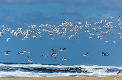 Летание чайки в пляже стоковая фотография rf