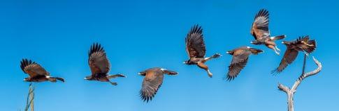 Летание хоука Херриса Изолированный ястреб против голубого неба стоковая фотография rf