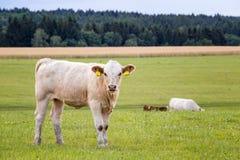 лето выгона коров стоковая фотография rf