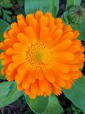 Лечебное Солнце - Calendula стоковое изображение rf