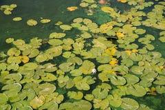 Листья на поверхности воды, предпосылка лотоса стоковые изображения