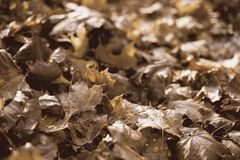 Листья осени в золотом свете позднего вечера стоковая фотография rf