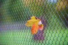 лист Желт-апельсина вставленные в сетке загородки стоковая фотография