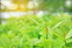 Лист свежего молодого зеленого дерева верхние на запачканной предпосылке в саде лета с идти дождь и лучами солнечного света Приро стоковое изображение rf