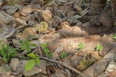 Лист Boodhi которые упали под дерево Bodhi после обеда когда солнечный свет посветил вниз стоковое фото rf