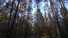 Личная перспектива идти на путь в лесе, устойчивая съемка кулачка сток-видео