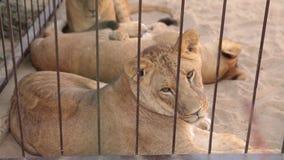 Львица внутри в клетке смотрит через aviary Львица отдыхает в aviary зоопарка, группе в составе львы отдыхая внутри видеоматериал