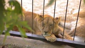 Львица внутри в клетке смотрит через aviary Львица отдыхает в aviary зоопарка, группе в составе львы отдыхая внутри акции видеоматериалы