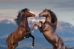 Лошади поднимая вверх стоковые изображения rf