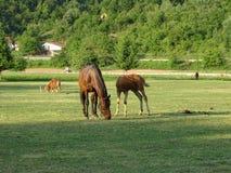 Лошадь и осленок матери пася в луге стоковые изображения rf