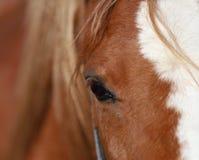 Лошадь, красивый портрет польской лошади стоковые фотографии rf