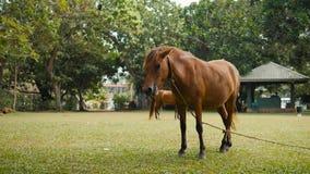 Лошадь на траве поля в Индии Шри-Ланка, молодых коричневых лошадях видеоматериал