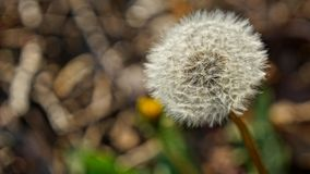 Макрос семян цветка дуновения одуванчика стоковые фото