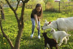 Маленькая девочка и белая отечественная коза с маленькими козами в луге на солнечный день в конце-вверх лета стоковые фотографии rf
