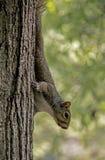 Маленькая серая белка приходит вниз небольшое дерево стоковое фото rf