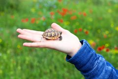 Маленький новичок черепахи в женском поле зеленого цвета предпосылки руки с пестротканым макросом крупного плана цветков стоковые фотографии rf