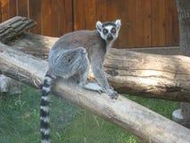 Мадагаскар, лемуры, джунгли, зоопарк, Кольц-замкнутые лемуры, приматы, относящийся к млекопитающим животные стоковые изображения