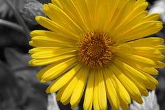 Маргаритка макроса желтая на предпосылке нерезкости стоковые фото