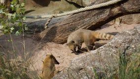 Медведь носа Амазонки Coatimundi ища еда стоковые фото