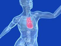Медицинская иллюстрация 3d человеческое тело прозрачное, сердце иллюстрация вектора