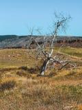 Мертвое дерево в луге Колорадо стоковое изображение rf