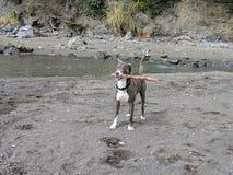 Милая счастливая усмехаясь собака с ручкой во рте на пляже готовом для игры стоковые изображения rf
