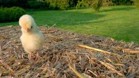 Милый желтый цыпленок, цыпленок Польши младенца, сидя на связке сена снаружи в золотой солнечности лета акции видеоматериалы