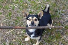 Милый щенок играя с деревянной ручкой для прогулки Красивая шавка стоковые фотографии rf