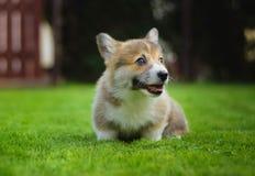 Милое счастливое полное щенка Пембрука corgi валийца энергии играя усаживание на зеленой траве в саде стоковая фотография