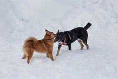 Милое inu shiba и черная шавка играют на белом снеге стоковая фотография