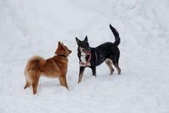 Милое inu shiba и черная шавка играют на белом снеге стоковое фото rf