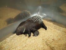 млекопитающие Мать дикобраза кормя ее младенца грудью стоковые изображения