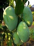 Много зеленых манго стоковые фото