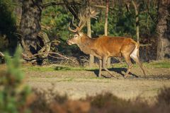 Мужские красные олени, elaphus cervus, во время прокладывать сезон стоковые фотографии rf