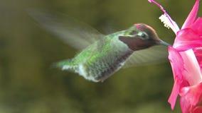 Мужской цветок пинка посещения колибри - петля, сурдинка сток-видео