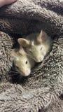 Мышь Брайна стоковые изображения