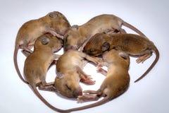 Мышь младенца новорожденного стоковое изображение
