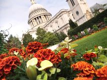 Мarigold flowers on a flowerbed by St. Paul`s cathedral in Lond Royalty Free Stock Photo