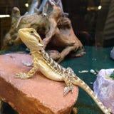 Молодая бородатая ящерица дракона насиживая в магазине любимца стоковые фото