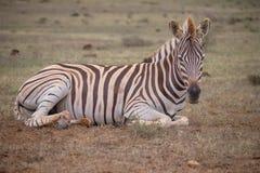 Молодая зебра в KAroo стоковое изображение