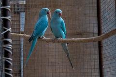 Молодая пара длиннохвостых попугаев Александра стоковая фотография rf