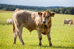 Молодое положение быка на выгоне стоковое фото