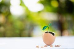 молодой завод растя в раковине яйца, стоковые изображения rf