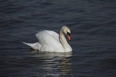 Молодой лебедь плавает спокойно на воде стоковые изображения