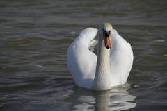 Молодой лебедь плавает спокойно на воде стоковая фотография