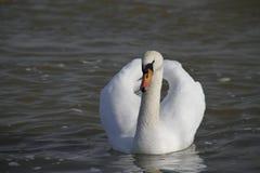 Молодой лебедь плавает спокойно на воде стоковое фото rf